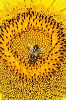 Close-up on bee in sunflower´s helianthus annuus cross section