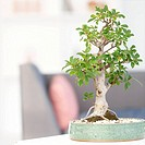 Close up of bonsai tree in living room