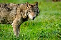 Portrait of european grey wolf (Canis lupus) captive