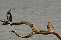 Common cormorant (Phalocrocorax carbo) sharing branch with a duck