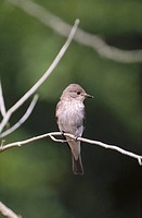 Spotted Flycatcher (Muscicapa striata) perched to catch