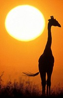Silhouette of giraffe in steppe at sunset