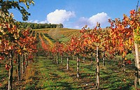 Vineyards, Chianti. Tuscany, Italy