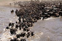 Blue Wildebeest (Connochaetes taurinus) crossing Mara River. Masai Mara National Reserve, Kenya