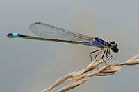 Blue-tailed damselfly chomps down on freshly caught prey