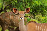 Close-up of a female Kudu Tragelaphus strepsiceros in a forest, Kruger National Park, Mpumalanga Province, South Africa