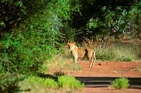 Lion Panthera leo standing at the roadside in a forest, Makalali Game Reserve, South Africa