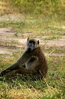 Baboon sitting in a forest, Chobe National Park, Botswana