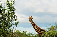 Giraffe Giraffa camelopardalis in a forest, Motswari Game Reserve, South Africa