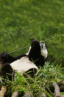 Close-up of a panda Alluropoda melanoleuca holding a bamboo stick