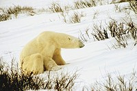 Polar bear Ursus Maritimus sitting in snow