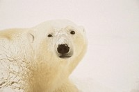 Close-up of a Polar bear Ursus Maritimus