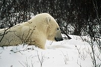 Close-up of a Polar bear sitting on a snow covered landscape
