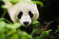 Close-up of a panda Alluropoda melanoleuca