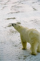 High angle view of a Polar bear Ursus Maritimus sniffing the air