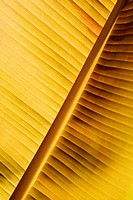 Close-up of a banana leaf, Hawaii Tropical Botanical Garden, Hilo, Big Island, Hawaii Islands, USA