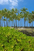 Palm trees on the coast, Puuhonua O Honaunau National Historical Park, Kona Coast, Big Island, Hawaii Islands, USA