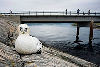 Booby next to the Atlantic road. More og Romsdal. Norway