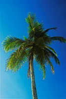 Low angle view of a palm tree, Providencia, san Andres Providencia y Santa Catalina, San Andres y Providencia Department, Colombia