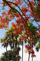Low angle view of flowers on a Flame tree Delonix regia