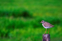Redshank perched on fence post, Groningen, the Netherlands