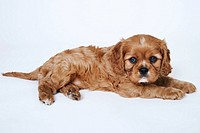Cavalier King Charles Spaniel puppy, lying down, studio shot
