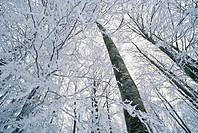Italy, Tuscany, Amiata Mount, Trees in snow, low angle view
