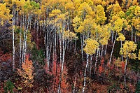 Autumn aspen trees on hillside in the Western Tieton Mts. Idaho USA