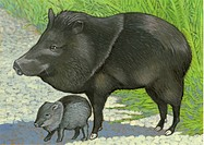 An illustration of a collard peccary