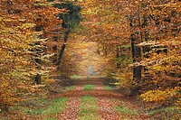 Forest in autumn, Beech trees, Germany
