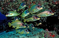 Blackspotted sweetlips, Plectorhinchus gaterinus, Sudan, Africa, Red Sea, animal, animals, biotope, biotopes, bony fis