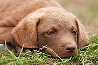 Labrador Retriever puppy lying in the grass