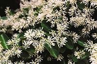 Chinese Fringetree (Chionanthus retusus)