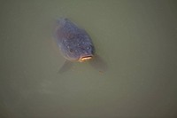 Carp in cloudy water