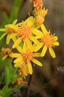 Tansy ragwort  (Senecio jacobea).