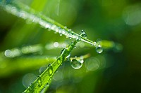 Grass-stalks, dewdrops, close-up,