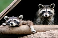 Raccoons, Procyon lotor, portrait, wildlife, game-animals, animals, mammals, carnivores, country-carnivores, small-bears, North American raccoons, two...