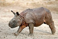 Tank-rhinoceros, Rhinoceros unicornis, young, running, series, wildlife, animal, game-animal, mammal, Unpaarhufer, rhinoceros, Indian Rhino, Indian rh...