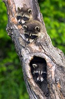 Log, raccoons, Procyon lotor, portrait, animal-portrait, animals, mammals, wildlife, game-animals, carnivores, country-carnivores, small-bears, North ...