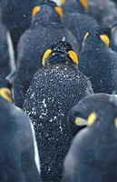 King-penguins, Aptenodytes patagonicus,