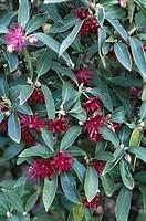 Purple Anise (Illicium floridanum)