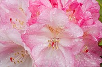 Pink Rhododendron, close-up detail. Private garden. Southern Oregon coast. USA