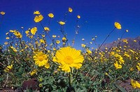 Desert sunflowers in a field Geraea canescens