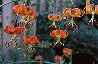 Turk´s Cap Lily (Lilium superbum)