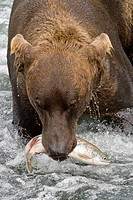Brown Bear with a fresh catch in Katmai National Park, Alaska, USA