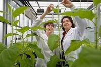 Tobacco biofactory plants,  biosafety greenhouse, P2, Neiker Tecnalia, Instituto de Investigación y Desarrollo Agrario, Ganadero, Forestal y del Medio...