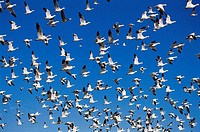 Snow Geese (Chen caerulescens). New Mexico, USA