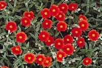 Rock Rose (Helianthemum 'Henfield Brilliant')