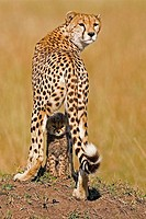 Cheetah with her cub in the Masai Mara, Kenya