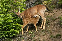 Wild deer along the road up on Hurricane Ridge, Olympic Peninsula, Washington, USA